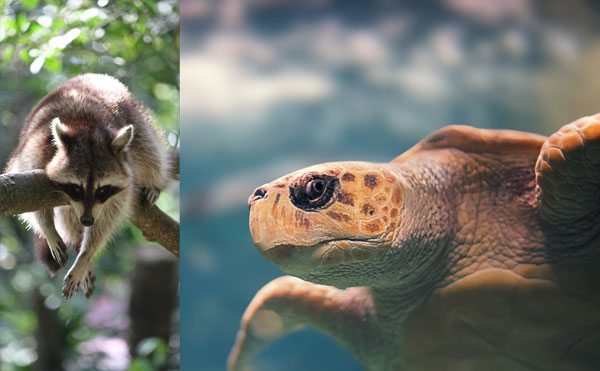 Racoon and turtle in guadeloupe