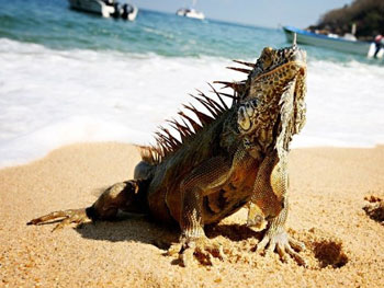 Iguana on the beach